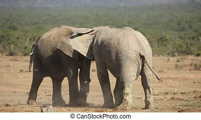 African elephants fighting - African elephant Loxodonta...