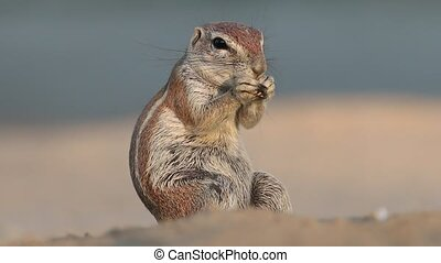 Feeding ground squirrel - Ground squirrel Xerus inaurus...