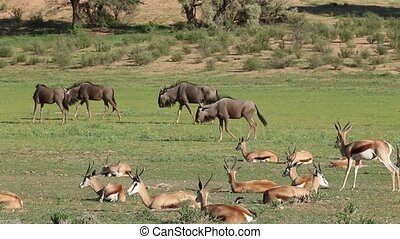 Springbok antelopes and blue wildeb - Herd of springbok...