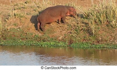 Hippopotamus on land - Hippos Hippopotamus amphibius feeding...