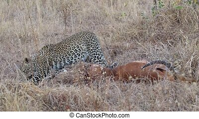 Leopard with prey - A leopard (Panthera pardus) with its...