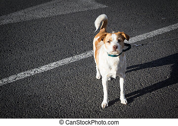 Dog on Collar - Small White and Brown Dog on a Leash in the...
