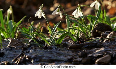 Group of snowdrops nearby the river