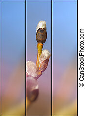 Willow catkin - 3 divider - Willow catkin taken against the...