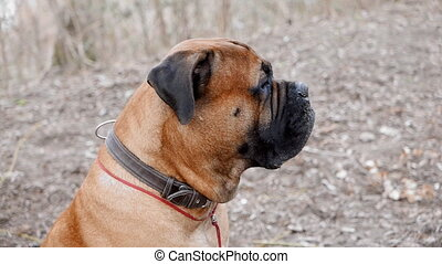 English Mastiff dog breed in the park
