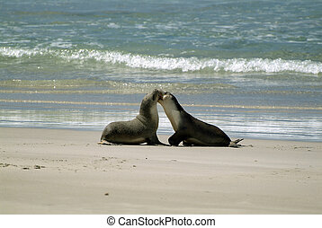 Australia - Kangaroo Island - fighting australian sea lions...