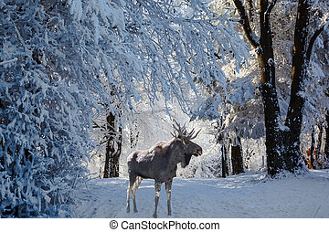 Magnificent Moose went for walk - Christmas forest in the...