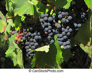 Grapes, vine, vineyard - Valley of River Lot ; Midi-Pyrenees