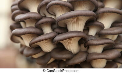 oyster mushrooms closeup - oyster mushrooms close up HD