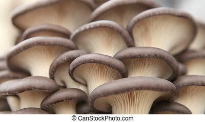 oyster mushrooms closeup - oyster mushrooms close up HD