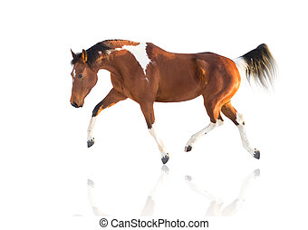 isolate of the piebald horse on the white background -...