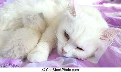 cat white feeding kitten sleeping on bed mother and son -...
