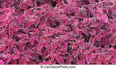 Dark purple Coleus - Coleus was a genus of flowering plants...