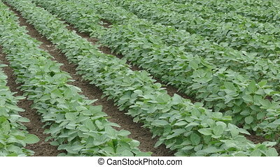 Agriculture, soybean plant field - Agriculture, green...
