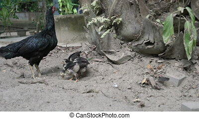 Black hen with chickens - Black hen with red head and...