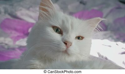 white cat portrait close up lying on the bed - white cat...