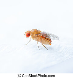 Fruit fly - Close up new born fruit fly in studio
