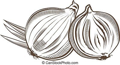 Onion in vintage style. Line art vector illustration