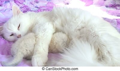 cat white feeding kitten lying on the care and love bed -...