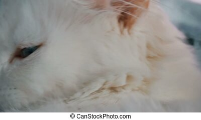 Portrait of a white cat yawning - Portrait of a white cat...