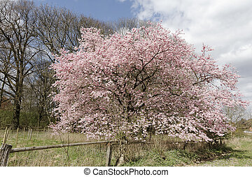 Japanese cherry tree in spring, Lower Saxony, Germany,...