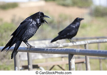 Pair of ravens in the wild