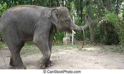 Elephant with a hoop. - Elephant with a hoop on its trunk on...