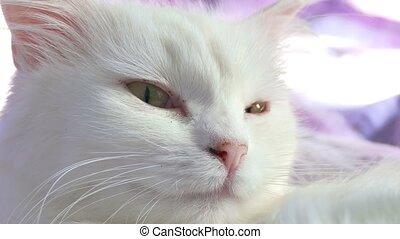 white cat close up portrait lying on bed
