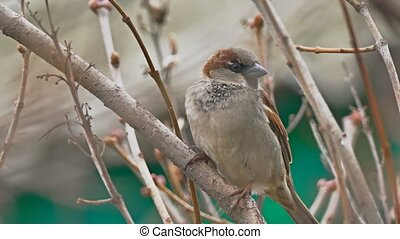 brown bird sparrow sitting on nature branch tree - brown...
