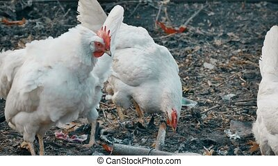 chicken looking for food in the trash dump - chicken looking...