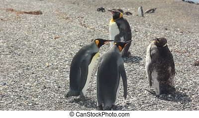 two king pinguins on stone shore crying on another pinguin -...