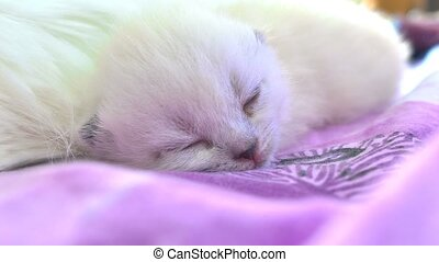 cat white kitten sleeping on bed