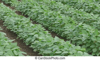 Agriculture, soybean field zoom out - Agriculture, soybean...