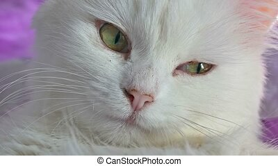 white cat portrait close up lying on bed