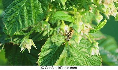 Common Wasp ( Vespula vulgaris)
