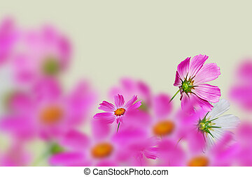 Pink and white cosmos flowers. Floral background.