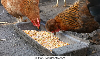 Free range chickens hens pecking corn and food - Free range...