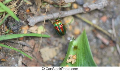 Chrysolina americana, beetle - Brilliant iridescent beetle...
