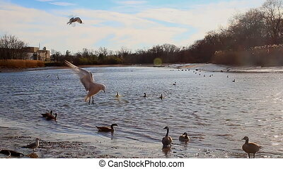 Gulls, swans, guses and other birds. Danube river, River...