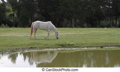 Palomino Horse Grazing