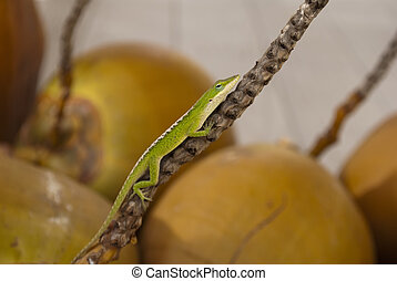 Hanging Around - A gecko hangs out on the stem of a coconut...