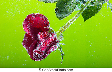 rose in the water on a green background - Drops of water and...