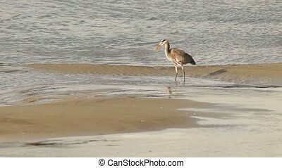 Great Blue Heron Wild Bird Animal - A Heron surveys the...