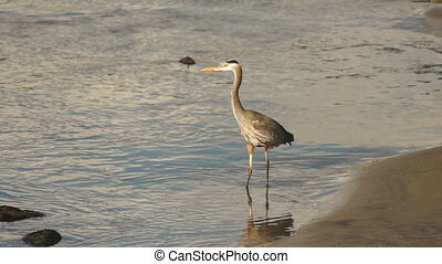 Great Blue Heron Wild Bird Animal W - A Heron surveys the...