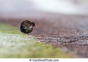 moorhen on the path - an moorhen on the sidewalk in the...