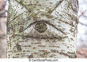 Cyclop White Poplar Tree - One eyed white poplar trunk in...