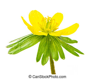 Isolated yellow blossom of winter aconite flower (Eranthis...