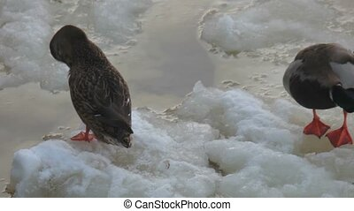 Pair of ducks cleaning on water with ice view - Pair of...