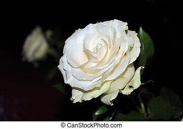 Single white rose on dark background with blurred another...