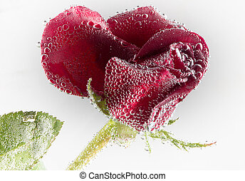 rose in the water on a white background - Drops of water and...